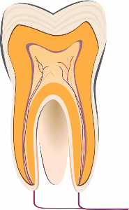 Tooth Anatomy: What are the Parts of your Teeth?